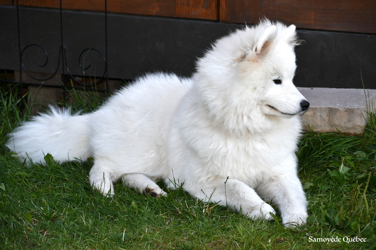Photos of Samoyed Quebec