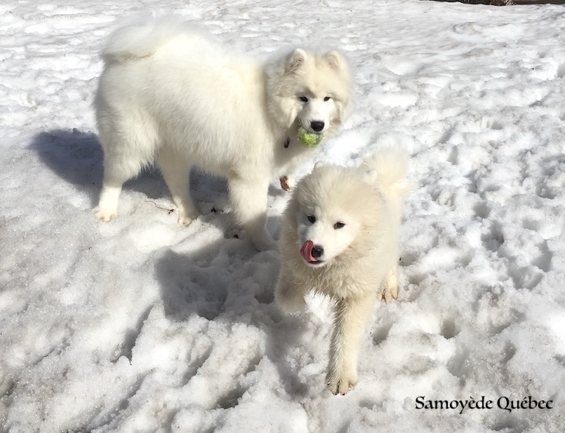 Akela and Lucky - Samoyed Quebec