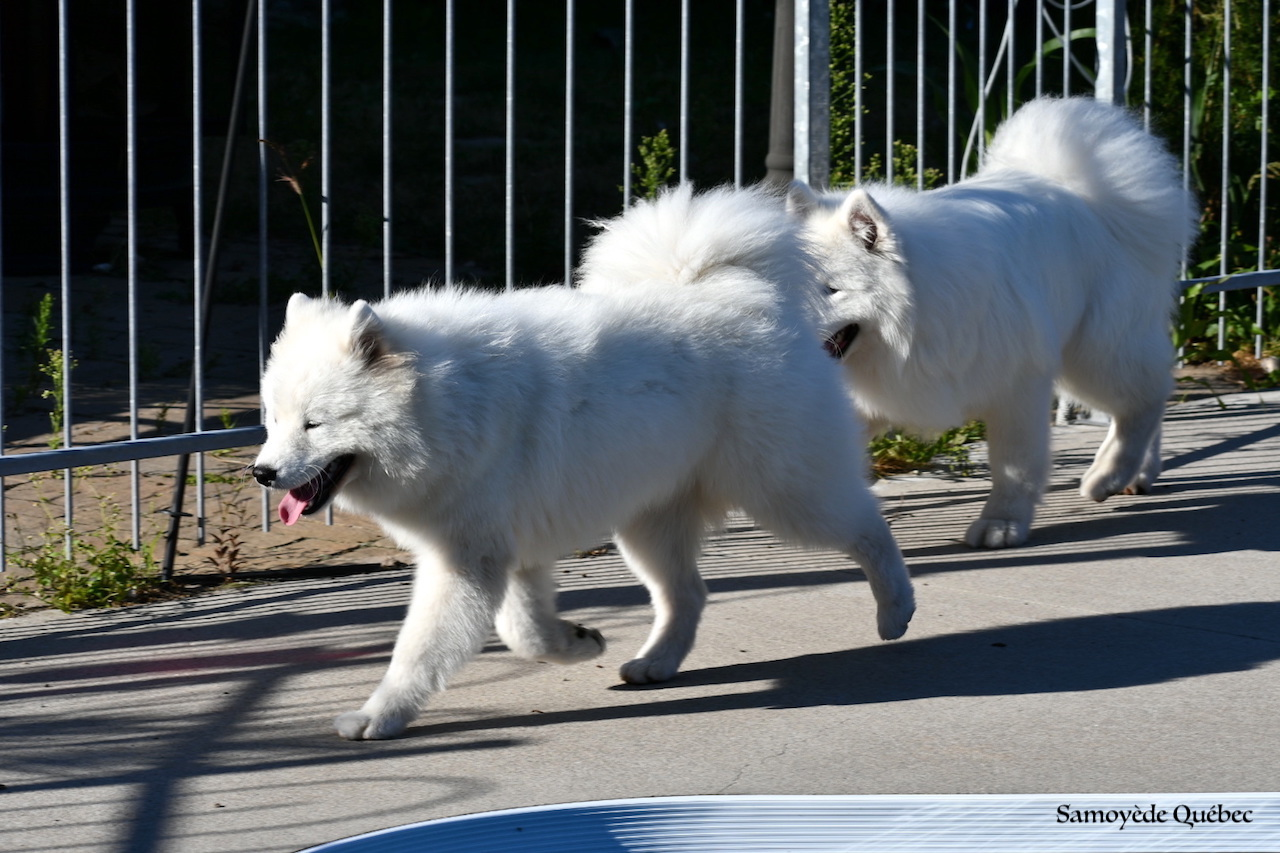 Akela et Lucky around the swimming pool - Samoyed Quebec