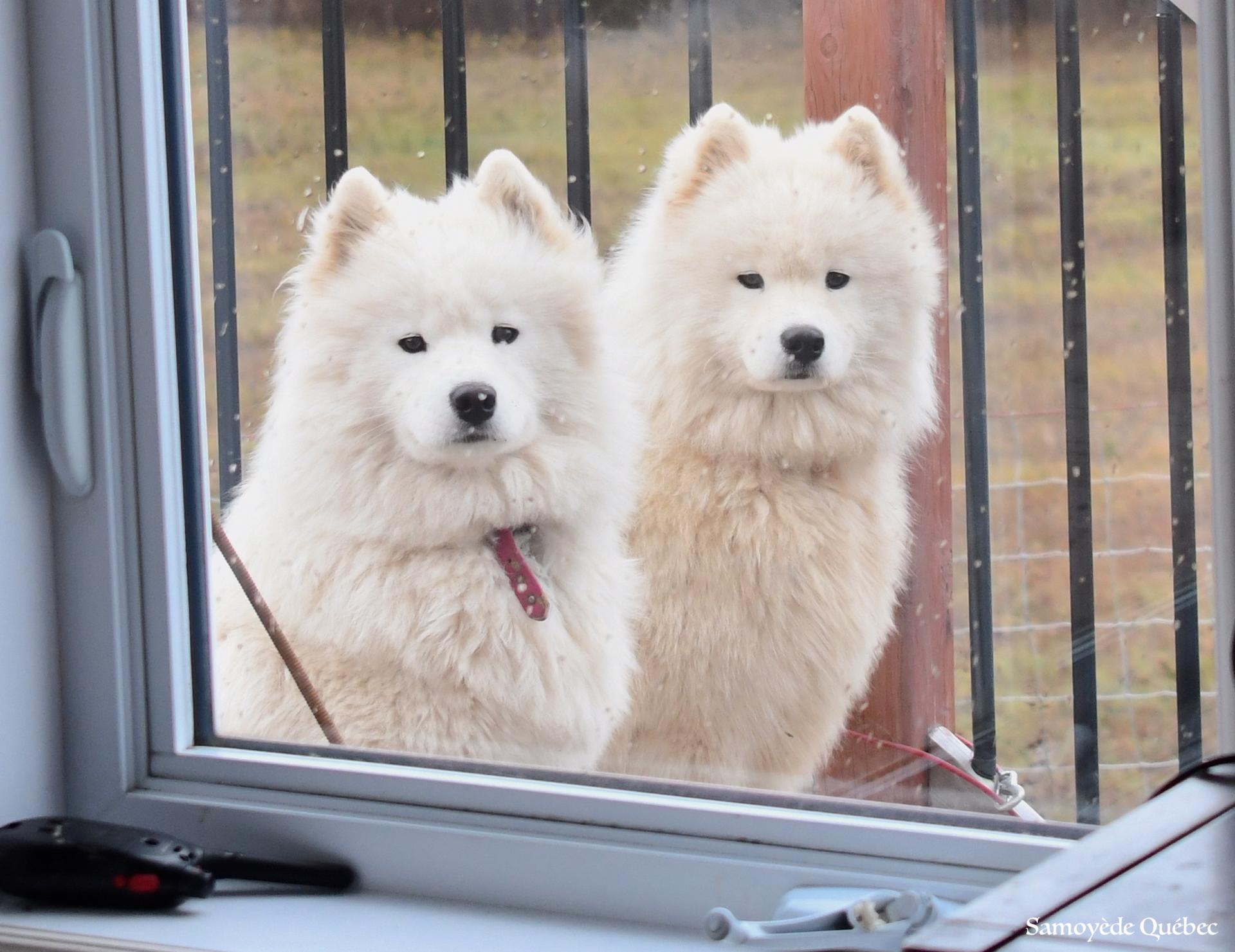 Akela et Taiga par la fenêtre!