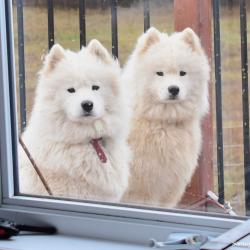 Akela and Taiga by the window