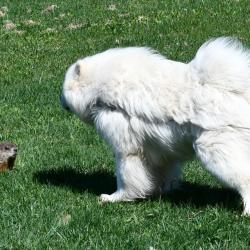 Balto meet a marmot