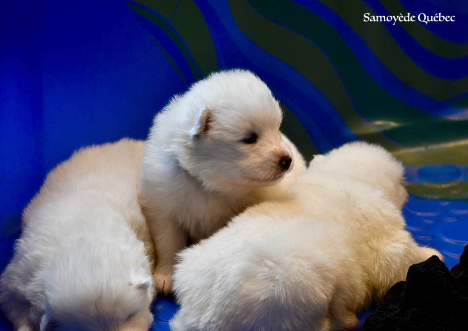 puppy akela 2017 - Samoyed Quebec