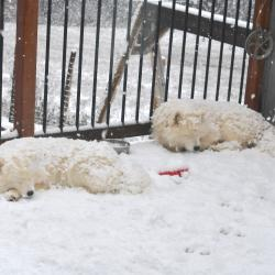 Akela et Lucky  dormant sous la neige