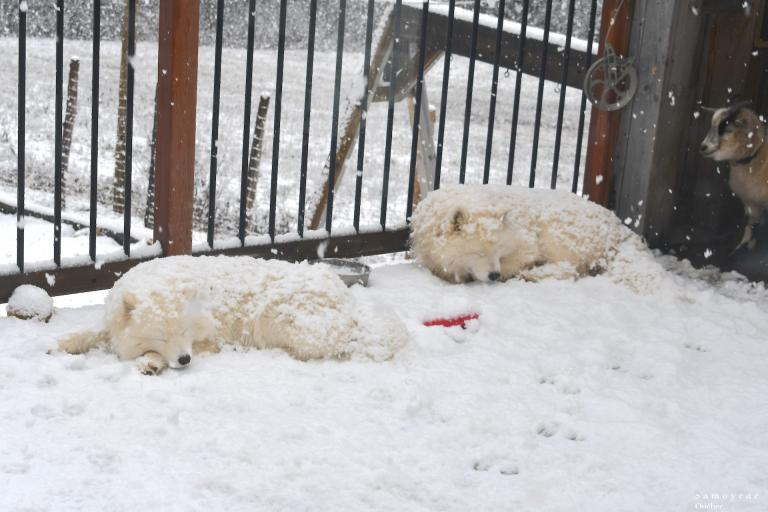Akela and Lucky  sleeping in the snow