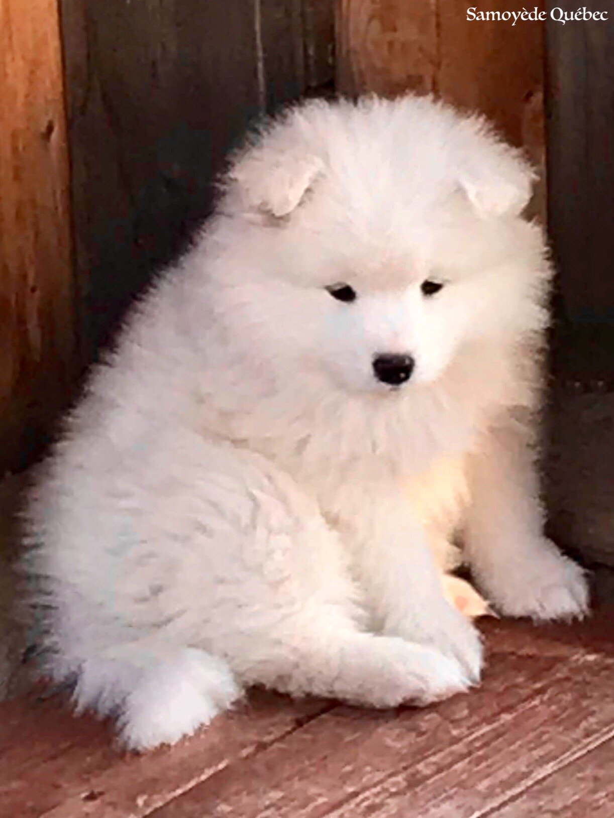 Samoyed Quebec - Samoyed dog breeder