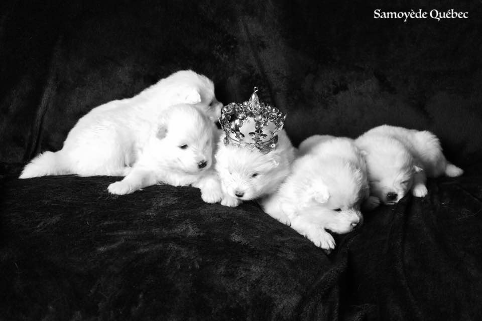 the prince and the princesses - Samoyed Quebec