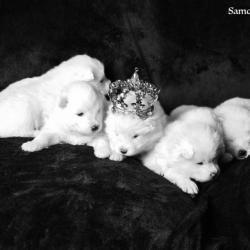 le prince et les princesses - Samoyède Québec