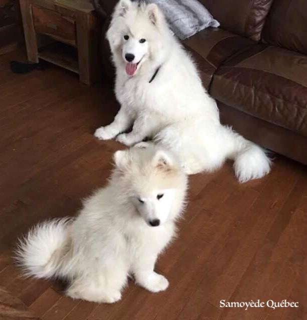 Lucky and Akela - Samoyed Quebec