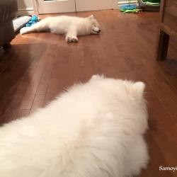 Lucky and Akela sleeping - Samoyed Quebec