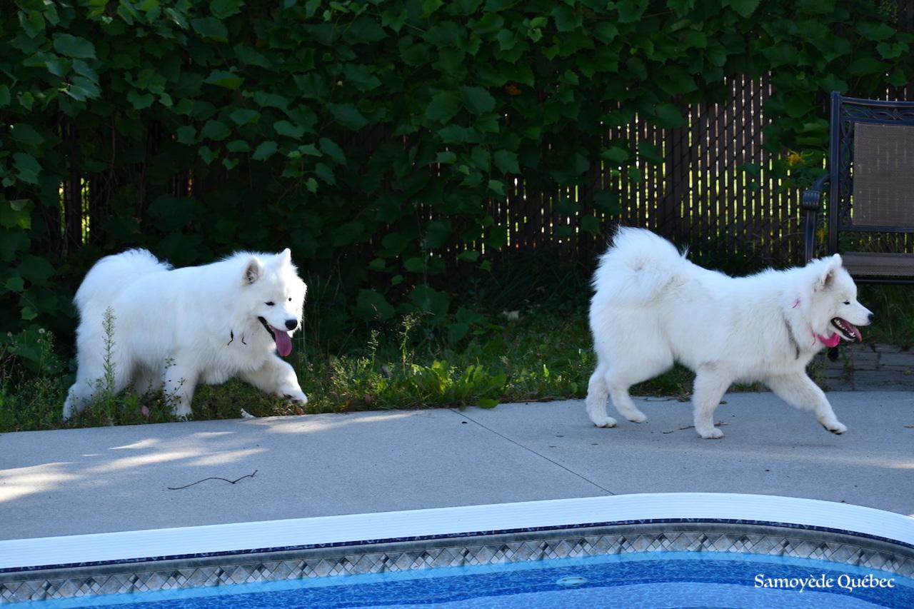 Lucky et Akela  autour de la piscine - Samoyède Québec