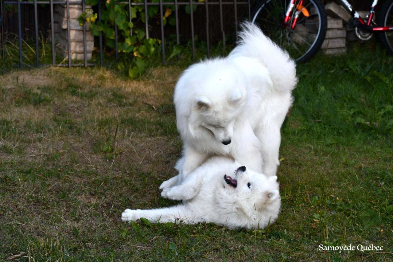 Lucky and Akela playing - Samoyed Quebec