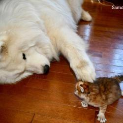 lucky and the siberian kitten - Samoyed Quebec
