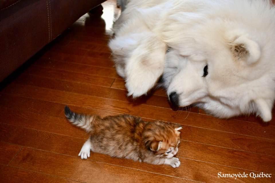 lucky et chaton sibérien - Samoyède Québec