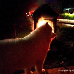 lucky nearby the fire - Samoyed Quebec