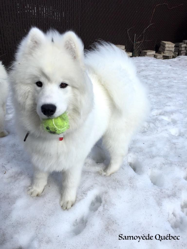 Lucky playing with its ball - Samoyed Quebec