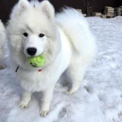 Lucky qui jour avec sa balle - Samoyède Québec