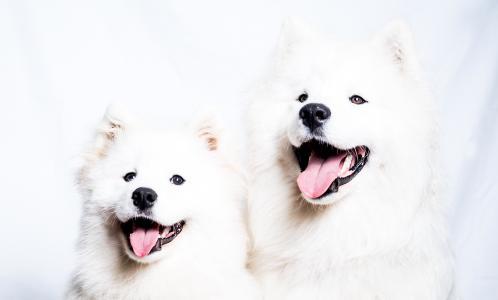 Samoyed Quebec - Samoyed dog breeder