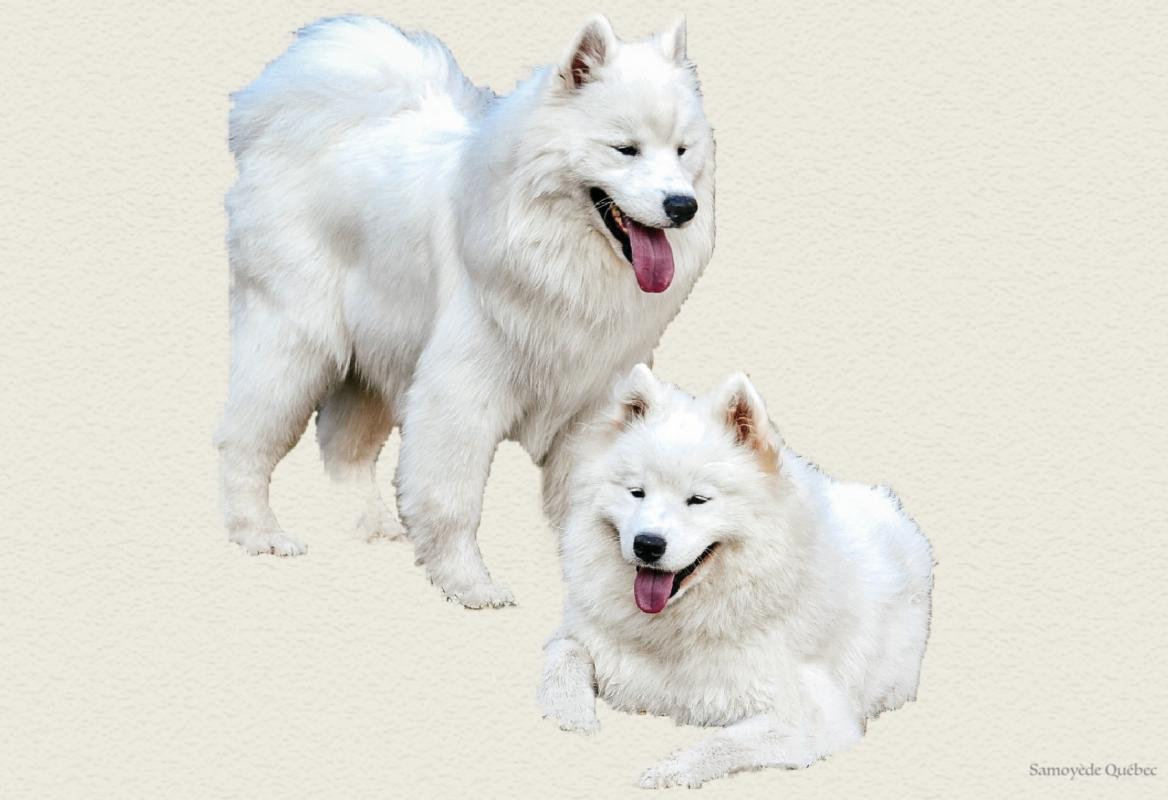 Samoyed Quebec Samoyed Dog Breeder