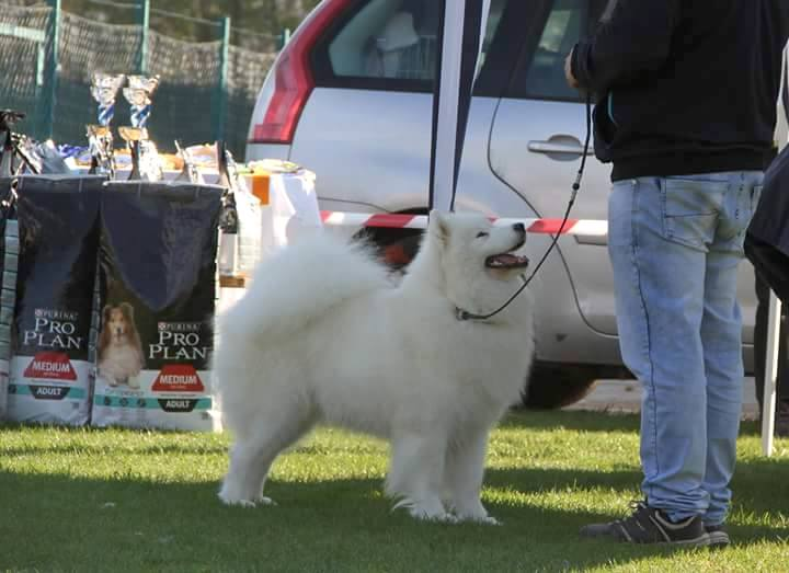 Magic Baby de Samoyed Kennel For Love