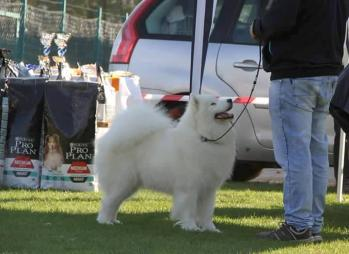 Magic Baby de Samoyed Kennel For Love (Adorable Smile)